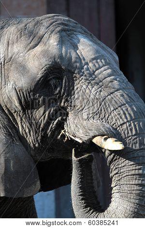African Elephant