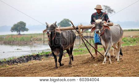 AMARAPURA, MYANMAR - DEC 09, 2013: Plowing rice fields with an ox team. The farmers plows the land ancient method using oxen