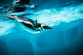 Humboldt Penguin (Spheniscus humboldti) also termed Peruvian Penguin, or Patranca, swimming in the clear water. poster