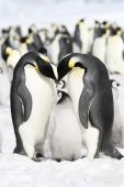 Emperor penguins (Aptenodytes forsteri) on the ice in the Weddell Sea Antarctica poster