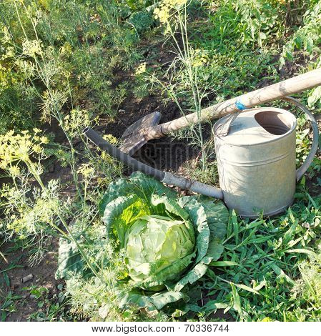 Shovel, Handshower And Cabbage In Garden