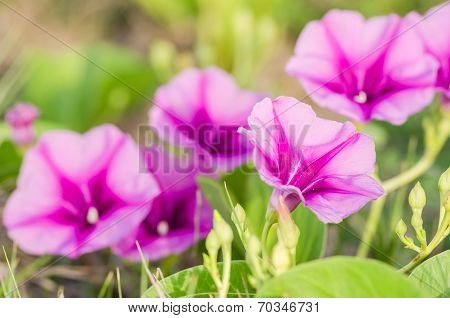 Morning Glory Or Convolvulaceae Flowers