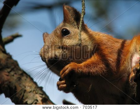 Squirrel Gnaw Nut
