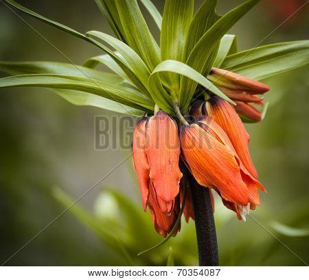 Fritillaria Imperialis 'aurora'