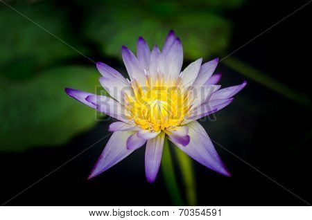 Blue lotus in shadows