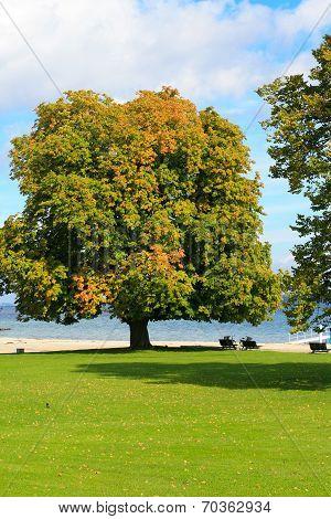 chesnut tree at Bellvue beach Klampenborg Denmark poster