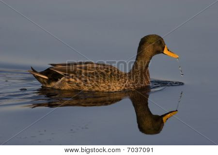Yellowbilled Duck floating on still water with reflection