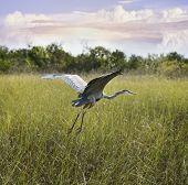 Great Blue Heron In Flight Over Wetland  poster