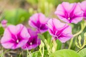 Morning glory or Convolvulaceae flowers or Bindweed Family in the nature or the garden poster