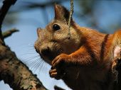 Squirrel gnaw nut on a tree. Blue sky on background. poster