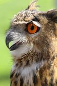huge OWL with fluffy feathers and huge orange eyes and beak open poster