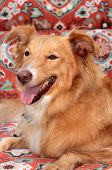 A Smiling and Happy Shetland Sheepdog - Golden Retriever dog sits on a lounge chair outside in the summer sun enjoying her day at a Doggie Resort while her owners are on vacation.  poster