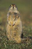 Alert Ground Squirrel poster