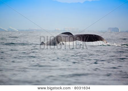 Whale watching in the Banderas Bay near Puerto Vallarta Mexico poster