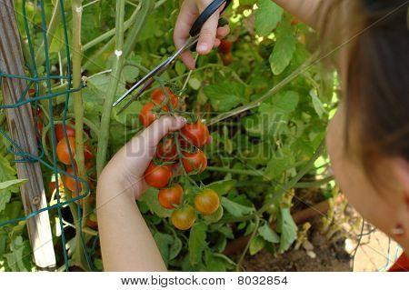 Picking mature organically grown cherry tomatoes