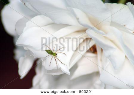 Spider on white rose