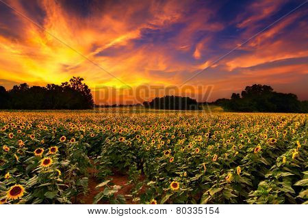 Sunflowers In The Sunset