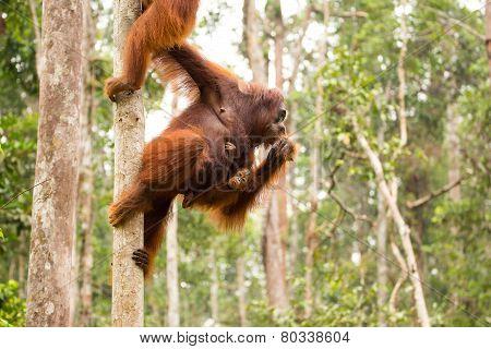 Orangutan family.