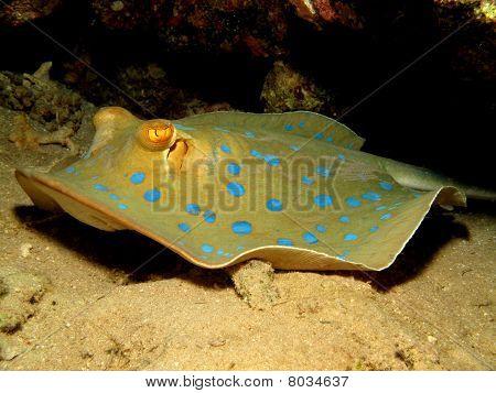 Bluespotted stingray