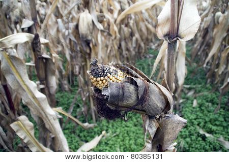 Corn On The Stalk