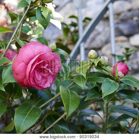 Flower Of Camelia
