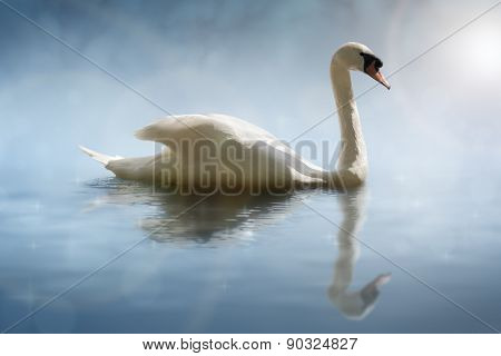 Swan in the morning sunlight with reflections on calm water in a lake