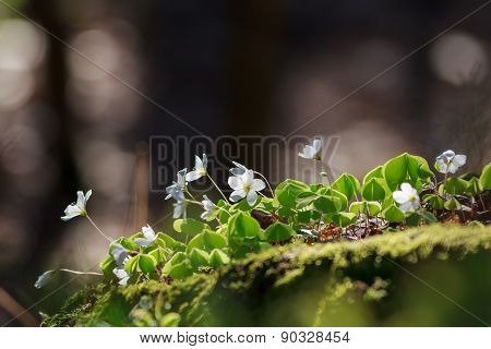 Wood Sorrel or Common Wood Sorrel with a blurred background