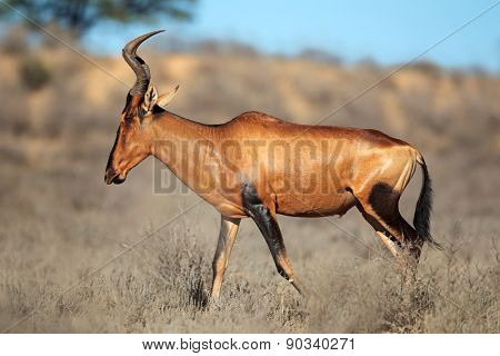 Red hartebeest (Alcelaphus buselaphus) antelope, Kalahari desert, South Africa