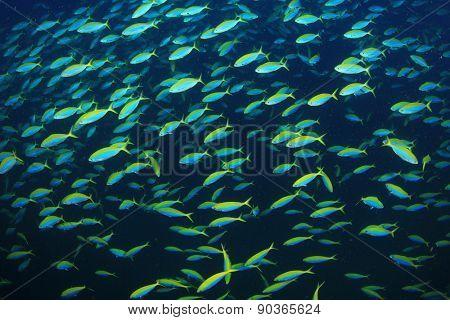 Yellowback Fusilier fish