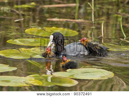 Common Coot (Fulica atra). Netherlands.
