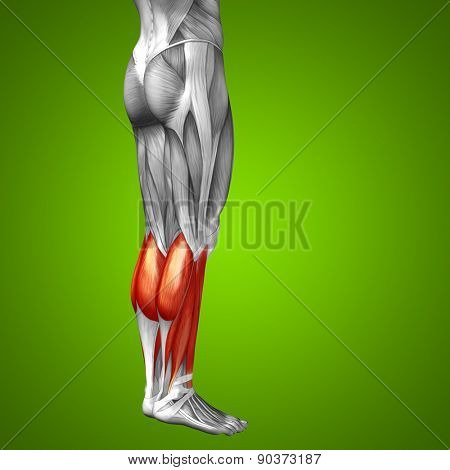 Concept or conceptual 3D gastrocnemius human lower leg anatomy or anatomical and muscle on green gradient background
