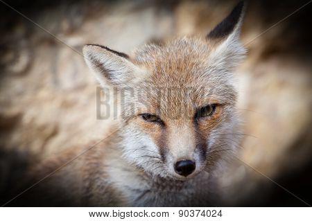 Closeup Fox