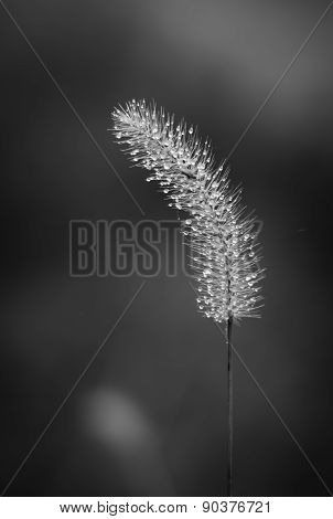 Foxtail with water drops in black and white