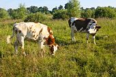 Cows on pasture. They are worried about insects which they drive away with their tails. poster