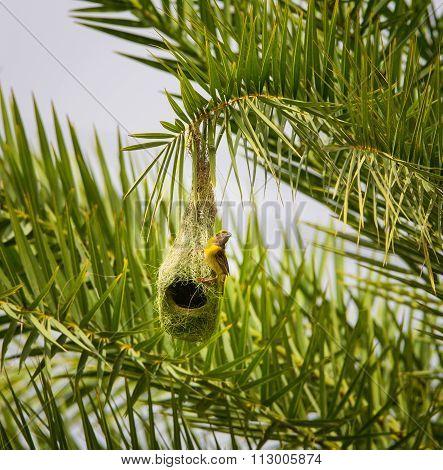 Baya Weavers nest building near Bangalore India.