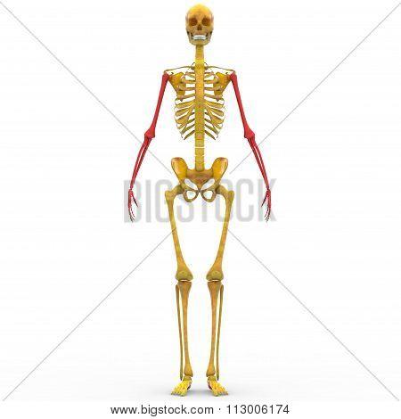 Human Skeleton Humerus, Radius, Ulna and Hand bones