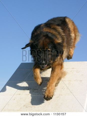 Leonberger And Agility