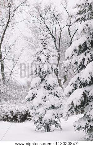 Snow Covered Firs,Selective Focus
