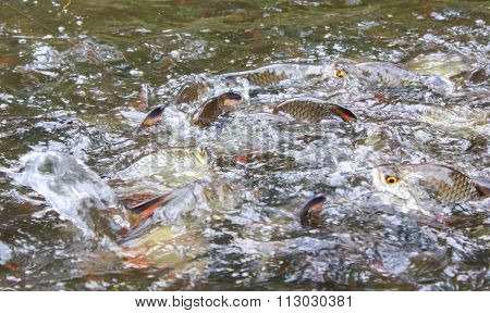 Silver Barb Fish Bustle Eat Feed In Farm