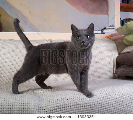 Russian Blue Cat Standing On White Blanket