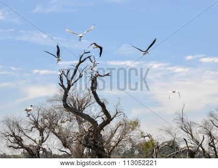 Australian Ibises Flying in the Tree Tops