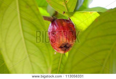 Syzygium Malaccense Or Pomerac, Malay Apple On Tree