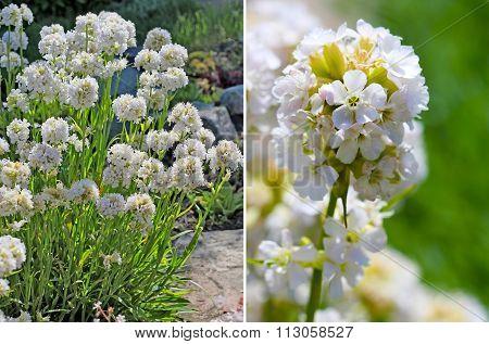 Lines viscaria ( Lychnis viscaria ). Decorative garden undemanding rhizomatous perennial plant of the family Caryophyllaceae poster