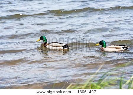 Two Wild Ducks (mallards).