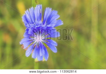 Flower Of Chicory.