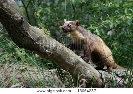 European Pine Marten (Martes Martes)
