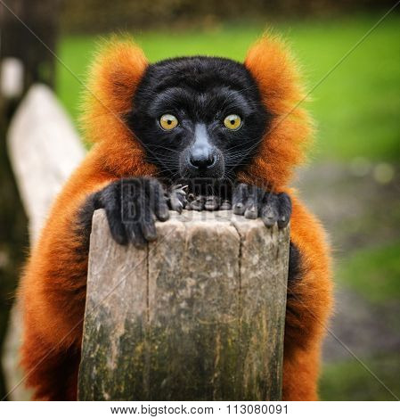 Portrait Of Red Ruffed Lemur, The Netherlands