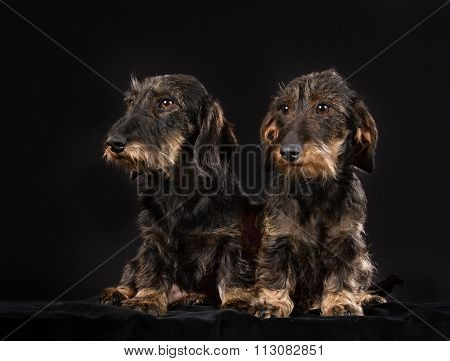 Two Wirehaired Dachshund Dogs