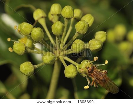 Common Ivy With Yellow Dung Fly