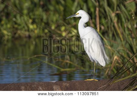 Snowy Egret At The Edge Of A Marsh - Viera, Florida